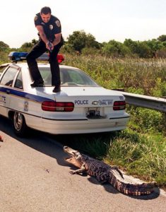 Copyrighted Photo by Paul J. Milette..PORT ST.LUCIE, FL, 6/29/1994...Port St.Lucie police officer Chuck Lamm holds his handgun on a 6 foot alligator he and fellow officers tried to set free in the Savannas Preserve State Park along Walton Rd. The gator was first spotted Wednesday afternoon at the front door of 1348 S.E.Port St.Lucie Blvd in Port St.Lucie.Police and animal control officers trapped the gator and brought it to the Savannas to be set free.The gator finally walked into the water after laying in the road and blocking traffic for about 20 minutes.